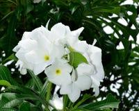 自然白花花束  库存图片