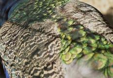 自然的概念 孔雀的播种的射击 免版税库存图片