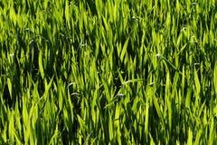 自然的草绿色 免版税库存图片