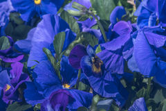 自然看法五颜六色蓝色紫罗兰色开花在自然阳光下的庭院里在晴朗的夏天或春日 图库摄影