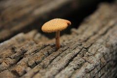 自然真菌/在木头找到的蘑菇 免版税库存图片