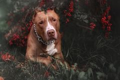 自然秋天动物留下狗铁Pitbull 免版税库存照片