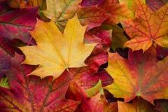 自然秋天叶子惊人的多色背景  多色叶子五颜六色的背景有自然光的 免版税库存照片