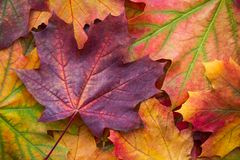 自然秋天叶子惊人的多色背景  多色叶子五颜六色的背景有自然光的 库存照片