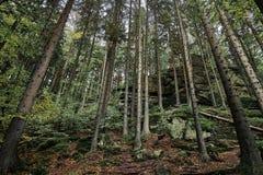 自然秋天的杉木森林 晚上光的斯堪的纳维亚森林 北欧树森林背景 汽车城市概念都伯林映射小的旅行 横向视图 免版税库存照片