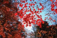 自然红色树有蓝天背景 库存图片