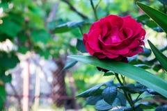自然红色玫瑰在庭院里 免版税库存图片