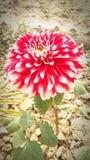自然红色花秀丽  库存图片