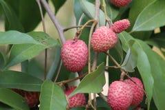 自然红色荔枝 红色荔枝是非常甜的 免版税图库摄影