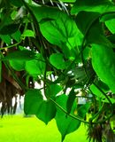 自然绿色叶子 免版税库存照片
