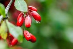 自然绿色在雨以后留给成熟红色伏牛花分支wate下落  库存图片