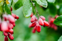 自然绿色在雨以后留给成熟红色伏牛花分支wate下落  免版税库存图片