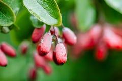 自然绿色在雨以后留给成熟红色伏牛花分支wate下落  免版税库存照片
