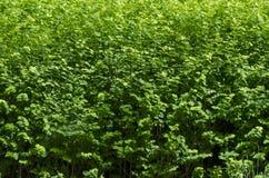 自然绿色灌木领域春天,南方公园背景  免版税库存照片