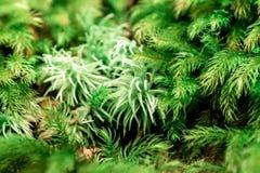 自然绿色背景,新鲜的青苔的宏观图象在雨林的 库存照片