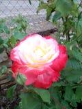 自然罗斯开花&从事园艺环境 免版税库存照片