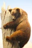 自然美国熊北美灰熊历史记录的博物&# 库存照片