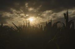 自然背景在日落关闭的照片板料在温暖的叶子由后照的剪影太阳的颜色宏观bokeh关闭发出光线轻的betwe 免版税图库摄影
