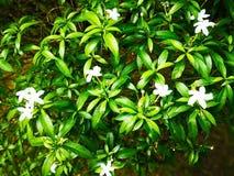 自然背景的概念 许多白花在绿色 免版税库存照片