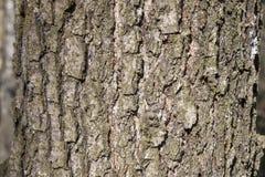 自然背景的橡树吠声 图库摄影