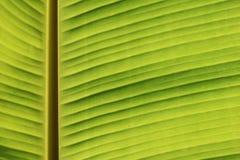 自然背景的绿色香蕉叶子纹理 免版税库存照片