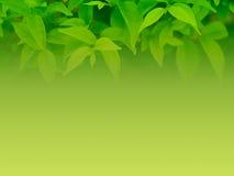 自然背景绿色的叶子 库存图片