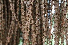 自然背景,鱼尾棕榈种子  图库摄影