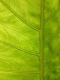 自然背景绿色的叶子 新夏天或春天样式 B 库存图片