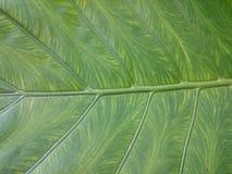 自然背景绿色的叶子 新夏天或春天样式 H 免版税图库摄影