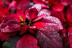自然自然背景,一品红圣诞节花 免版税库存图片