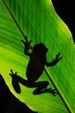 自然艺术视图  Morelet ` s雨蛙, Agalychnis moreletii,在自然栖所,夜图象 与大绿色事假的青蛙,后面 免版税库存照片