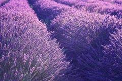 自然花卉淡紫色背景,紫外概念-年的颜色2018年 免版税图库摄影