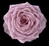 自然花桃红色上升了 花在与裁减路线的黑背景被隔绝 特写镜头 免版税图库摄影