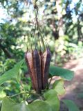 自然花种子它有黑和棕色颜色 免版税库存图片