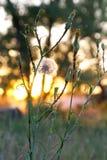 自然花,日落 免版税库存图片