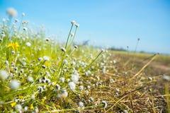 自然草开花,与明亮的天空的狂放的白花 库存图片