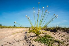 自然草开花,与明亮的天空的狂放的白花 免版税库存图片