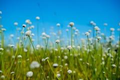 自然草开花,与明亮的天空的狂放的白花 库存照片