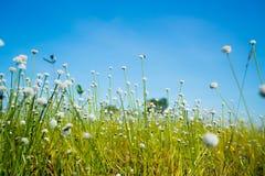 自然草开花,与明亮的天空的狂放的白花 图库摄影