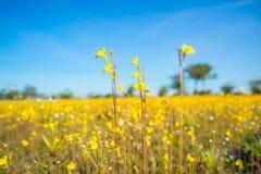 自然草开花,与明亮的天空的狂放的黄色花 免版税库存照片