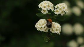 自然草本蜂弄糟蜂花焦点 影视素材