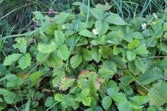 自然草莓 图库摄影
