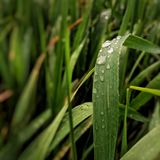 自然草绿色雨珠 免版税库存照片