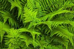 自然蕨背景 免版税图库摄影