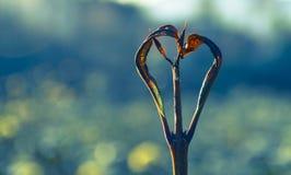 自然被形成的心形的分支 免版税库存图片