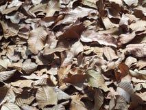 自然褐色烘干了落在密林地板上的叶子叶子 库存图片