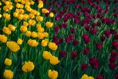 自然郁金香的领域在公园 免版税库存图片