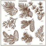 自然针叶树小分支隔绝了被设置的单色例证 免版税库存照片