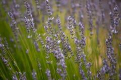 自然颜色紫色的开花的淡紫色领域 免版税库存照片