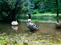 自然风景和天鹅 免版税库存照片